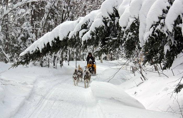 Chiens de traineau en action sur une piste enneigée
