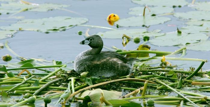 Oiseau sur l'étang