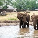 Éléphants se baignant